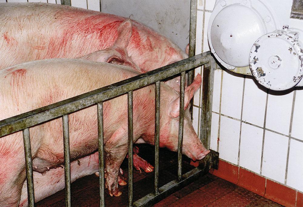 Soylent  Work   Schlachtung Schweine Schlachten Bilder Blut1000